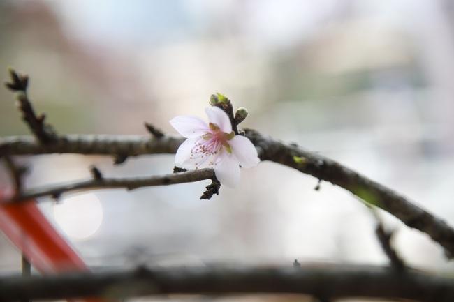 Đào rừng gắn tem vượt hàng trăm km xuống phố, đợi ngày nở hoa đón Tết - Ảnh 11.