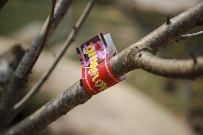 Đào rừng gắn tem vượt hàng trăm km xuống phố, đợi ngày nở hoa đón Tết - Ảnh 4.