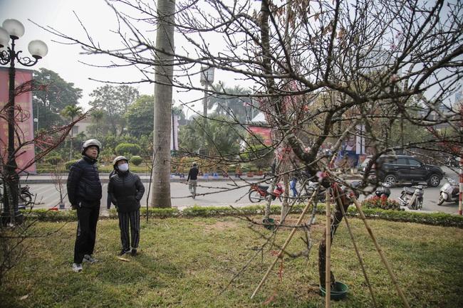 Đào rừng gắn tem vượt hàng trăm km xuống phố, đợi ngày nở hoa đón Tết - Ảnh 9.