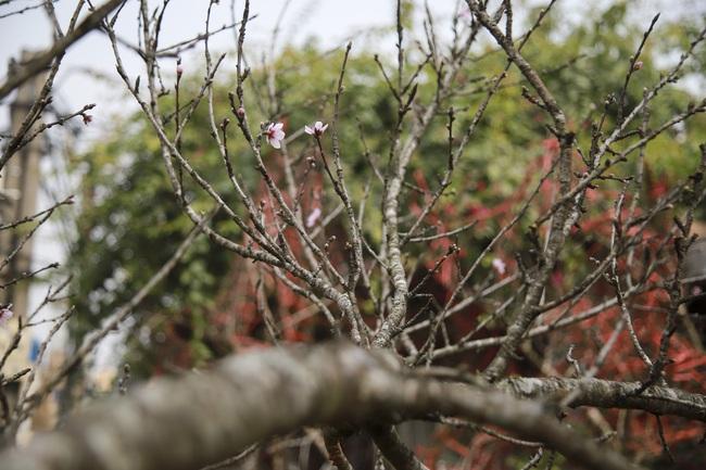 Đào rừng gắn tem vượt hàng trăm km xuống phố, đợi ngày nở hoa đón Tết - Ảnh 8.