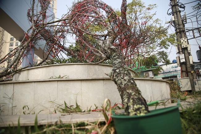Đào rừng gắn tem vượt hàng trăm km xuống phố, đợi ngày nở hoa đón Tết - Ảnh 7.