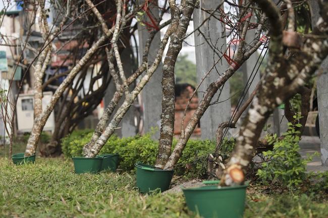 Đào rừng gắn tem vượt hàng trăm km xuống phố, đợi ngày nở hoa đón Tết - Ảnh 6.