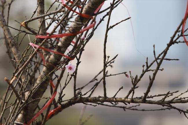 Đào rừng gắn tem vượt hàng trăm km xuống phố, đợi ngày nở hoa đón Tết - Ảnh 5.