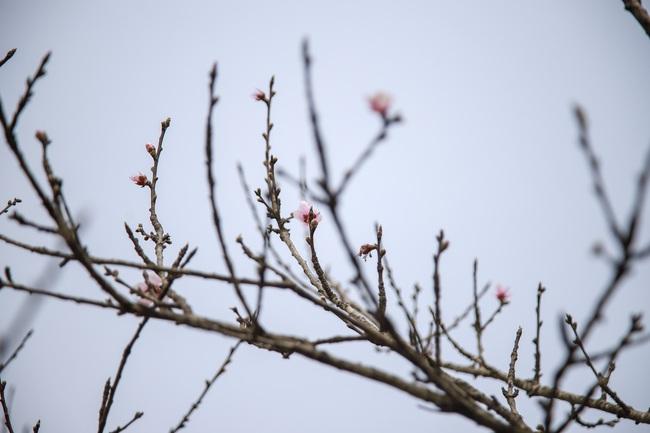 Đào rừng gắn tem vượt hàng trăm km xuống phố, đợi ngày nở hoa đón Tết - Ảnh 2.
