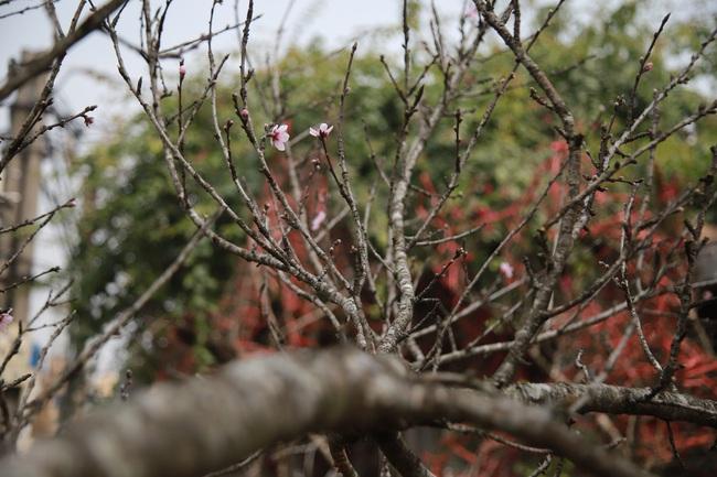 Đào rừng gắn tem vượt hàng trăm km xuống phố, đợi ngày nở hoa đón Tết - Ảnh 12.