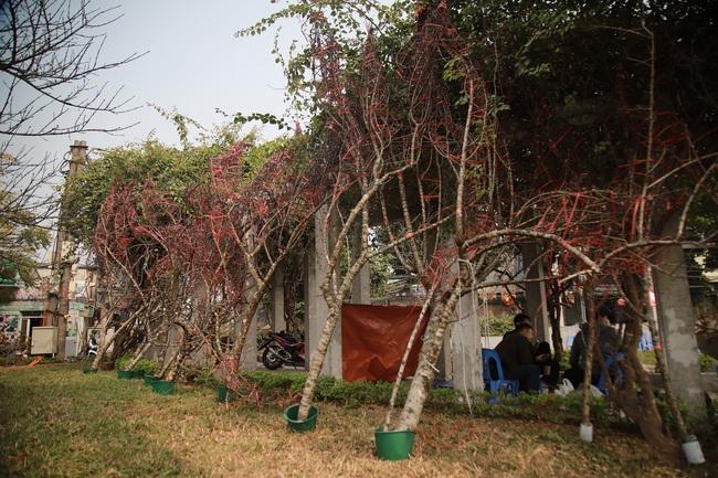 Đào rừng gắn tem vượt hàng trăm km xuống phố, đợi ngày nở hoa đón Tết - Ảnh 3.