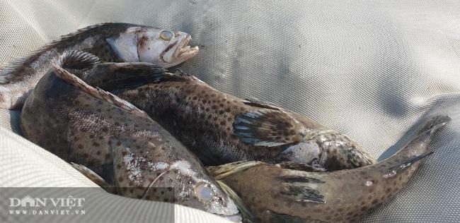 Tìm ra nguyên nhân vụ hàng tấn cá song thương phẩm chết bất thường ở Quảng Ninh  - Ảnh 1.