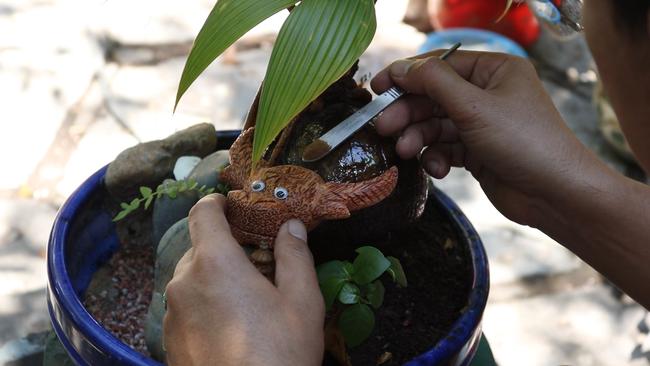 Độc đáo bonsai dừa có hình trâu đón Tết Tân Sửu 2021 tại TP.HCM - Ảnh 5.