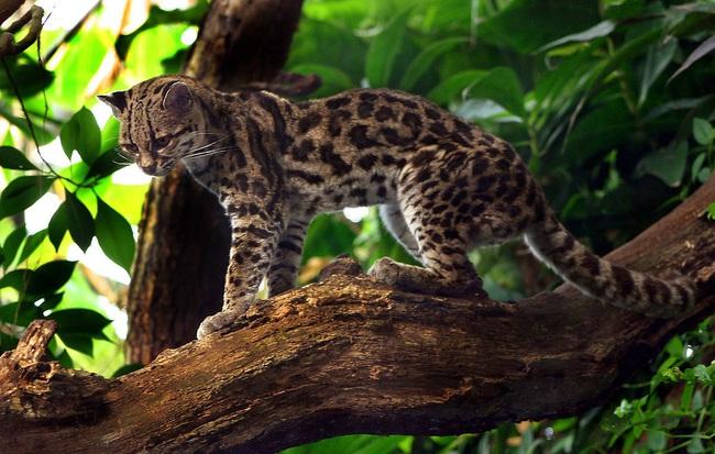 Mèo đốm margay - loài động vật đáng yêu nhưng đang đứng trước nguy cơ tuyệt chủng - Ảnh 4.