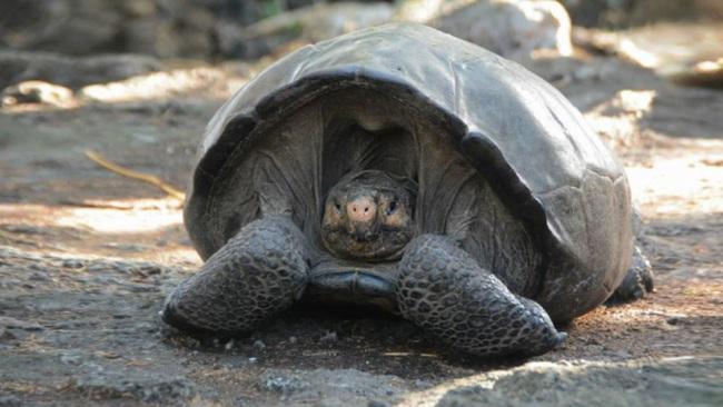 Rùa Galapagos - loài rùa lớn nhất thế giới có thể nhịn ăn trong 1 năm - Ảnh 6.