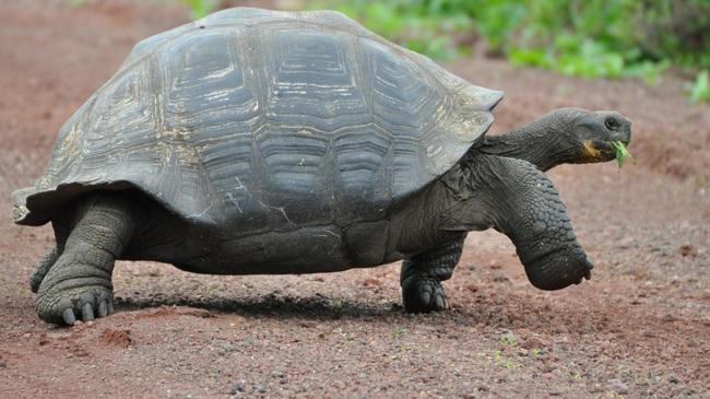 Rùa Galapagos - loài rùa lớn nhất thế giới có thể nhịn ăn trong 1 năm - Ảnh 7.