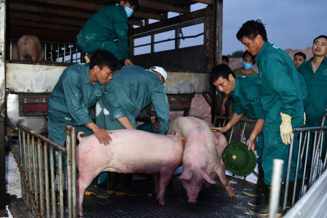 Cảnh báo tình trạng xuất lậu lợn sang Trung Quốc - Ảnh 1.