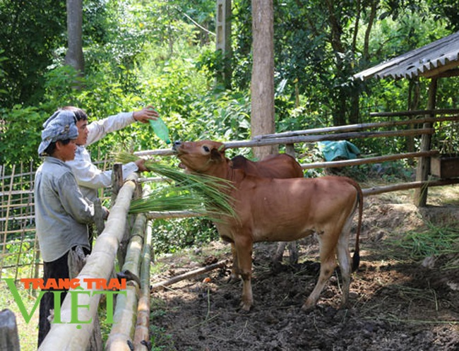 Nuôi bò thả rông trên núi sâu, lão nông dân tộc Thái sở hữu tài sản lớn - Ảnh 1.