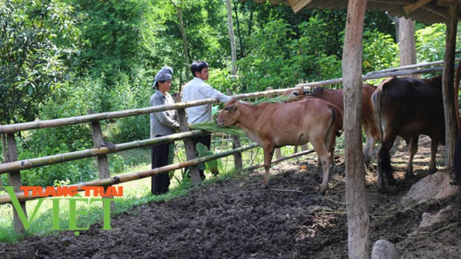 Nuôi bò thả rông trên núi sâu, lão nông dân tộc Thái sở hữu tài sản lớn - Ảnh 5.