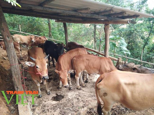 Nuôi bò thả rông trên núi sâu, lão nông dân tộc Thái sở hữu tài sản lớn - Ảnh 3.