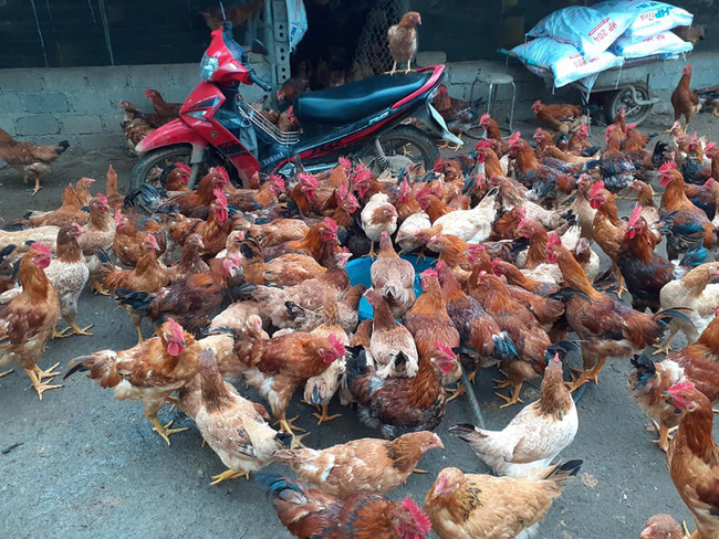 Giá gia cầm hôm nay 7/1: Cập nhật giá gà, vịt mới nhất tại các vùng - Ảnh 3.
