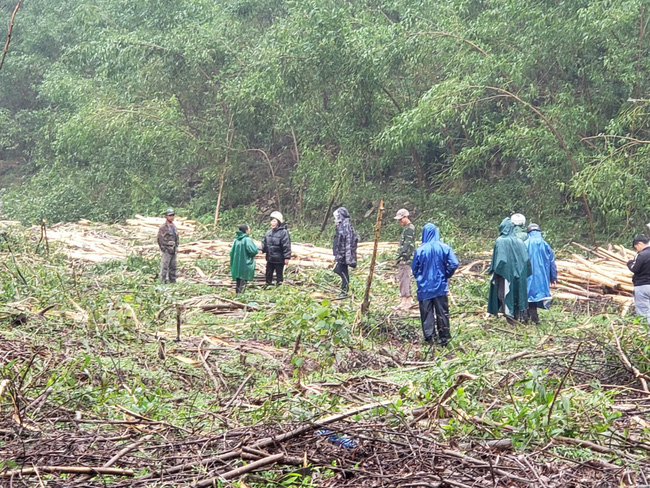 TT-Huế: Chính quyền lập hàng chục biên bản, vụ chặt phá rừng trồng vẫn tiếp diễn  - Ảnh 1.