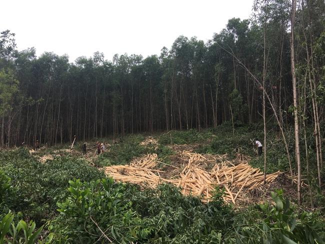 TT-Huế: Chính quyền lập hàng chục biên bản, vụ chặt phá rừng trồng vẫn tiếp diễn  - Ảnh 2.