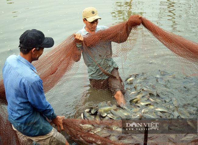Cà Mau: 1,6 tấn cá sặc bổi nuôi của dân bị sét đánh chết - Ảnh 1.