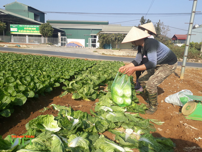 Trồng hơn 1000m2 rau xanh, một nông dân ở Sơn La thu tiền đều tay - Ảnh 3.