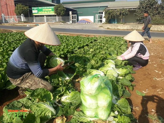 Trồng hơn 1000m2 rau xanh, một nông dân ở Sơn La thu tiền đều tay - Ảnh 2.