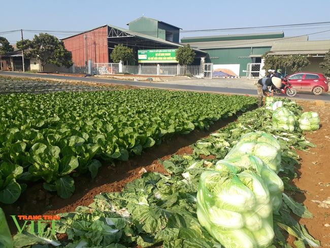 Trồng hơn 1000m2 rau xanh, một nông dân ở Sơn La thu tiền đều tay - Ảnh 1.