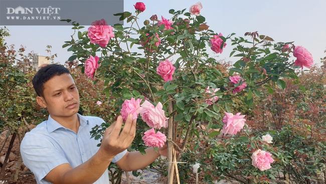 Ninh Bình: Trồng đào, hồng cổ bán Tết, 9x Kim Sơn rủng rỉnh tiền tiêu.   - Ảnh 5.