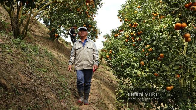 Sau một trận bão, lão nông U50 chuyển qua trồng quýt, mỗi năm lãi hơn 200 triệu đồng - Ảnh 1.