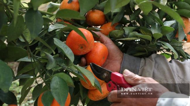 Sau một trận bão, lão nông U50 chuyển qua trồng quýt, mỗi năm lãi hơn 200 triệu đồng - Ảnh 3.