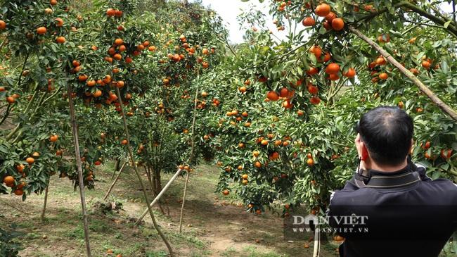Sau một trận bão, lão nông U50 chuyển qua trồng quýt, mỗi năm lãi hơn 200 triệu đồng - Ảnh 2.