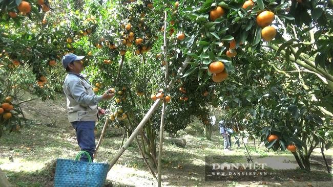 Sau một trận bão, lão nông U50 chuyển qua trồng quýt, mỗi năm lãi hơn 200 triệu đồng - Ảnh 5.