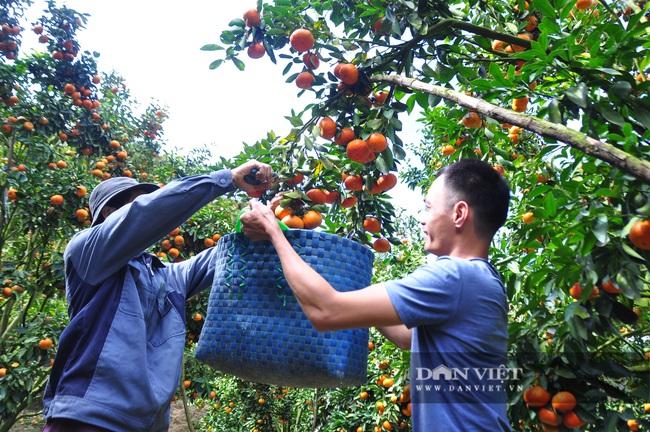 Sau một trận bão, lão nông U50 chuyển qua trồng quýt, mỗi năm lãi hơn 200 triệu đồng - Ảnh 7.
