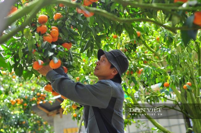 Sau một trận bão, lão nông U50 chuyển qua trồng quýt, mỗi năm lãi hơn 200 triệu đồng - Ảnh 8.