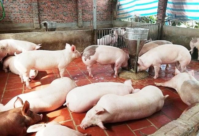 """Giá heo hơi hôm nay 20/2: Dịch Covid-19 tái xuất, nơi nào giá lợn hơi còn giữ trên """"đầu"""" 8?  - Ảnh 1."""