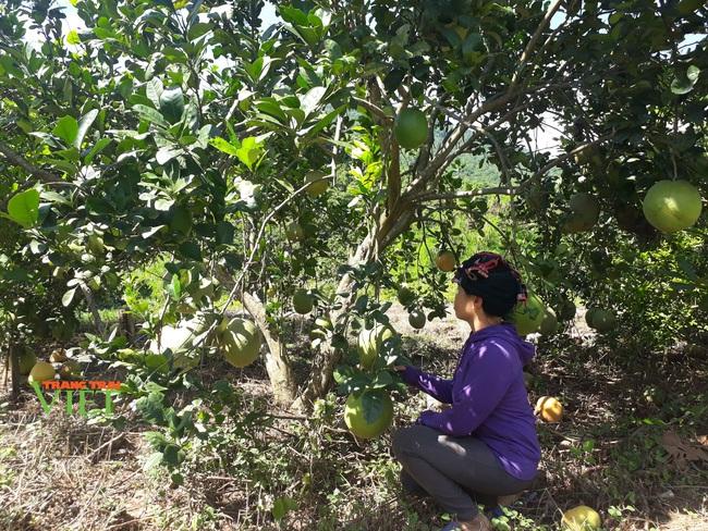 Yên Châu tập trung phát triển sản xuất nông nghiệp theo hướng hàng hóa - Ảnh 2.