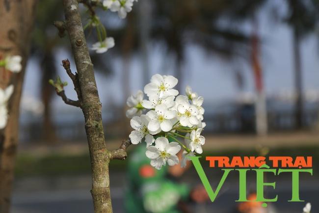 Đào phai mai tàn, người Hà Nội lại chơi thứ cây gốc rêu mốc hoa trăng muốt - Ảnh 4.