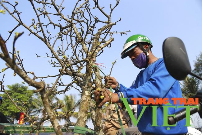 Đào phai mai tàn, người Hà Nội lại chơi thứ cây gốc rêu mốc hoa trăng muốt - Ảnh 7.