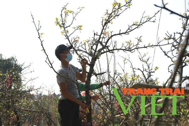Đào phai mai tàn, người Hà Nội lại chơi thứ cây gốc rêu mốc hoa trăng muốt - Ảnh 6.