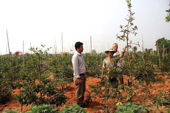 """Nông dân trồng mai vàng ứng dụng nông nghiệp công nghệ cao có cứu được cảnh """"chợ chiều 30 tết""""? - Ảnh 1."""