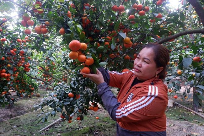 Nữ nông dân xứ vải thiều thu tiền tỷ từ... trồng cam  - Ảnh 3.