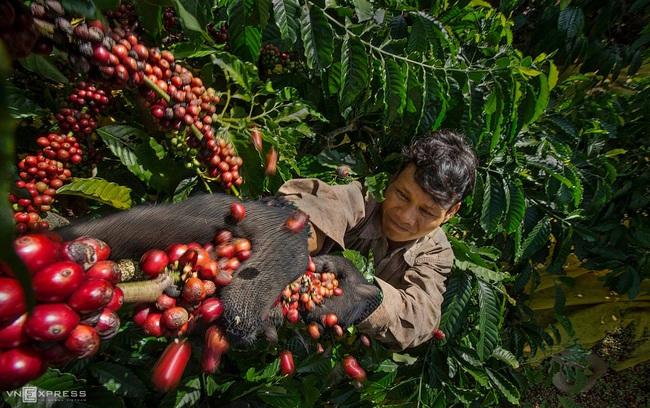 """Giá cà phê bứt phá, lượng giao dịch cao """"hiếm thấy"""", thị trường hạt tiêu dự báo sôi động - Ảnh 1."""