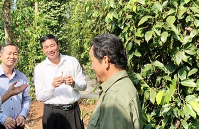 """Đồng Nai tìm cách """"cứu"""" 12.000 ha tiêu trước nguy cơ bị nông dân """"chối bỏ"""" vì ... giá - Ảnh 2."""