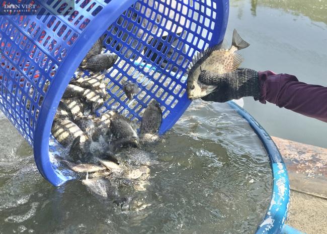 Đà Nẵng: Nuôi loài cá là đặc sản của vùng, lão nông thu tiền tỷ mỗi năm - Ảnh 6.