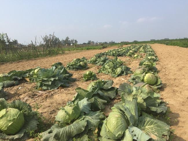 Nghệ An: Rau,củ rớt giá thảm sau Tết, nông dân xứ Nghệ chặt bỏ làm thức ăn cho gia súc   - Ảnh 1.