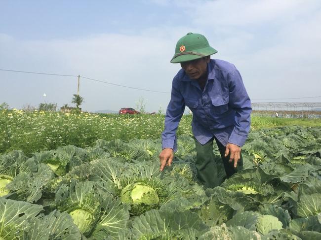 Nghệ An: Rau,củ rớt giá thảm sau Tết, nông dân xứ Nghệ chặt bỏ làm thức ăn cho gia súc   - Ảnh 3.
