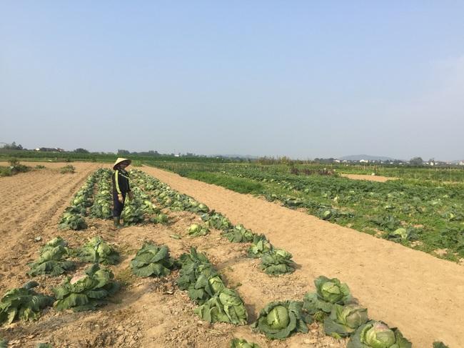 Nghệ An: Rau,củ rớt giá thảm sau Tết, nông dân xứ Nghệ chặt bỏ làm thức ăn cho gia súc   - Ảnh 9.