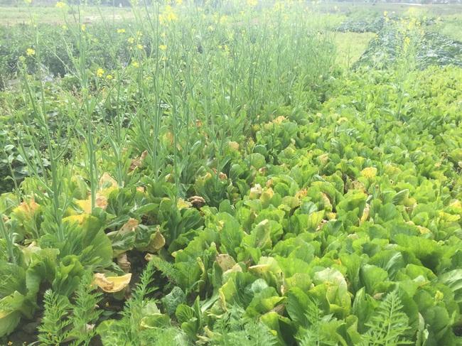 Nghệ An: Rau,củ rớt giá thảm sau Tết, nông dân xứ Nghệ chặt bỏ làm thức ăn cho gia súc   - Ảnh 5.