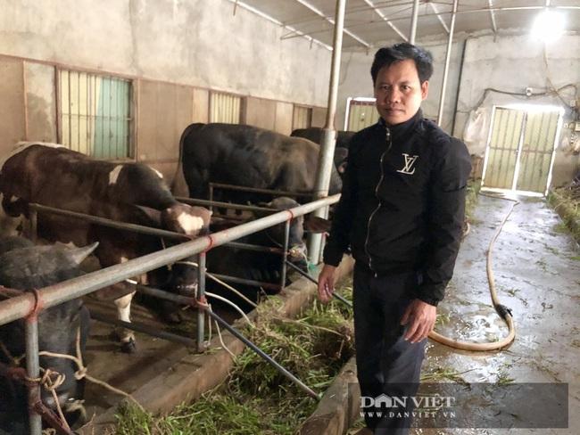 """Thái Bình: Dân thu tiền tỷ từ nuôi giống bò """"khổng lồ"""", khỏe như """"lực sĩ"""", hàng ngày được nghe nhạc - Ảnh 1."""