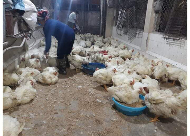 Giá gia cầm hôm nay 27/2: Giá các loại gà, vịt mới nhất tại các vùng - Ảnh 1.