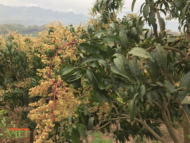 Chiềng Hặc phát triển cây ăn quả - Ảnh 1.